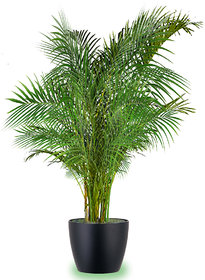 Plant House Plastic Live Areca Palm Air Purifier Beautiful Plant With Pot - Decorative Indoor/Outdoor Plant
