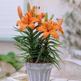 Plant House Live OrangeLily Decorative Beautiful Flower Plant With Pot - Outdoor Plant