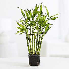Plant House Live Bas/Bamboo Healthy Plant With Pot - Outdoor Plant