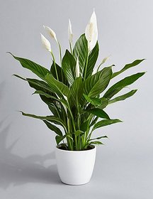 Plant House Live White Peace Lily Plant With Pot - Decorative Plant