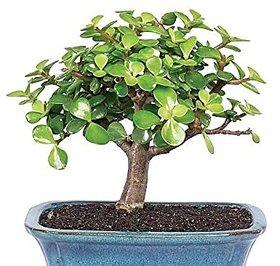 Plant House Live Jade Bonsai Decorative Indoor Plant With Pot