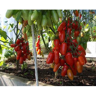 Tomato Seeds Kibits Ukraine Heirloom Vegetable 30 Seeds