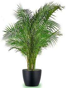 Plant House Plastic Live Areca Plam Plant With Pot - Healthy Plant