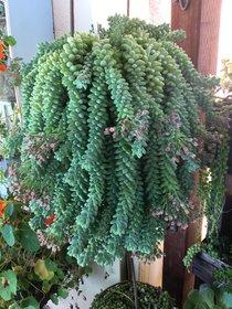 Plant House Live Donkey Succulent Cactus Plant With Pot - Decorative Plant