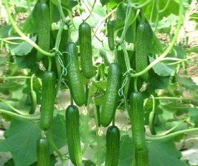 30 Green Cucumber Seed By green nursery