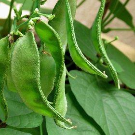 sm  Chedi Avarai Lablab Purpureus,Hyacinth,Dolichos Bean,Chedi Avarai (20 Seeds)