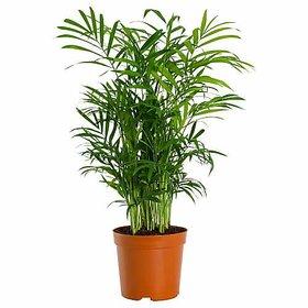 Plant House Plastic Live Areca Palm Air Purifier Plant Without Pot - Home Decor Plant