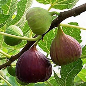 Modern Plants Live Anjeer - Ficus carica - Common Fig Fruit Plant With Pot