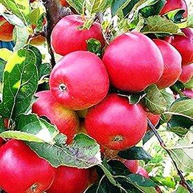 Modern Plants Live Kashmiri Seb - Apple Fruit Plant