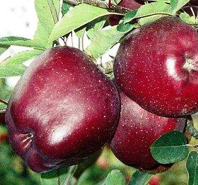 Modern Plants Live Himachal Apple - Seb Fruit Plant