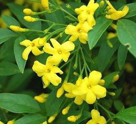 Modern Plants Live Yellow Jasmine - Chameli Aromatic Flower Plant With Pot