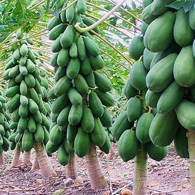 sm Thai Papaya Seeds Hybrid Variety Dwarf Fruit 50 Seeds Packet