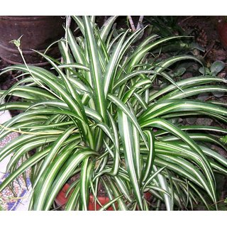 Plant House Live Spider Decorative Foliage Plant With Pot
