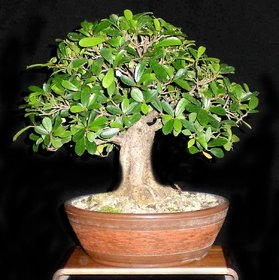 Plant House Live Ficus Bonsai - 3 Years Old Indoor Decorative Bonsai Plant With Pot