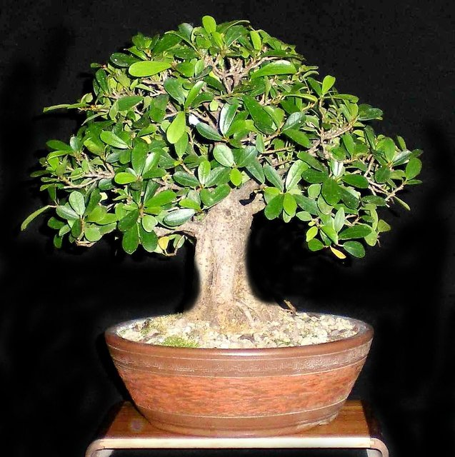 Buy Plant House Live Ficus Bonsai 3 Years Old Indoor Decorative Bonsai Plant With Pot Online Get 59 Off