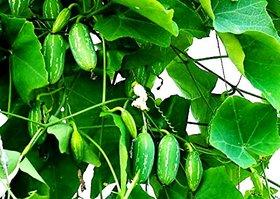 Modern Plants Live Kundru / Coccinia grandis Vegetable Vine Plant With Pot