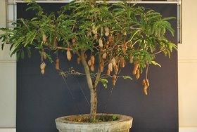 Pack of 8 bonsai Tamarind fruit Green Seed By green nursery