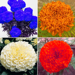 Mix Colour Imported Marigold Flower Seeds
