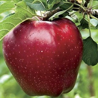 Flare Seeds Exotic Dwarf Apple Fruits Seeds Pack Of 10
