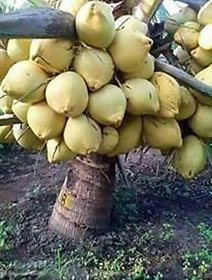 Plant House Plastic Live Coconut Fruit Plant - Dwarf Variety DxT Coconut Tree Huge Production Healthy Hybrid