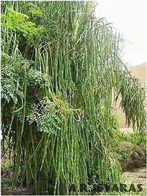 Organic Moringa Drumstick Seeds (Saijan ki Phalli, Saragavo)