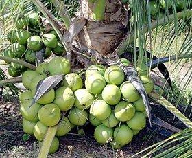 Modern Plants Live Coconut 'Mekong Delta Vietnam Green Dwarf' Live Plant - Vietnam Coconut Tree Plant
