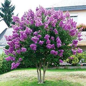 Plant House Live Purple Lagerstroemia - Crape myrtle Evergreen Flower Tree Plant For Garden - 1 Live Healthy Plant