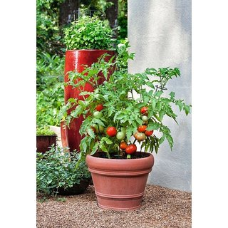 ENORME Garden Climbing Tomato Seeds (Pack Of 200 Seeds) Edible Home Garden