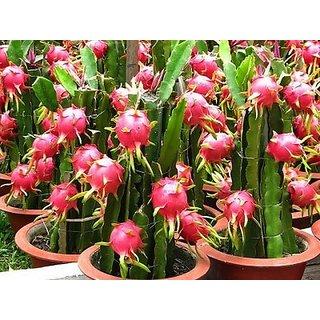 ENORME High Red 200Pcs Climbing Dragon fruit Fruit Plant Seeds Edible Home Garden