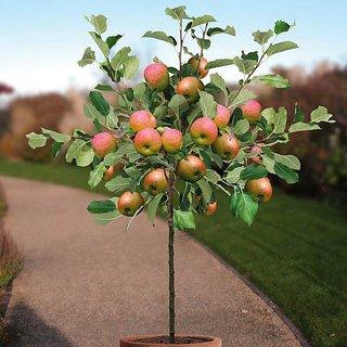 ENORME 200Pcs Seed Apple Rare Fruit Vegetable Seeds Bonsai Suitable Edible Garden Climbing Plant