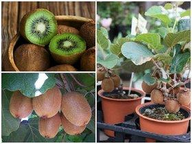 ENORME Fruit Seeds Kiwi Alpine Fragaria  200 Pcs Seeds Edible Home Garden
