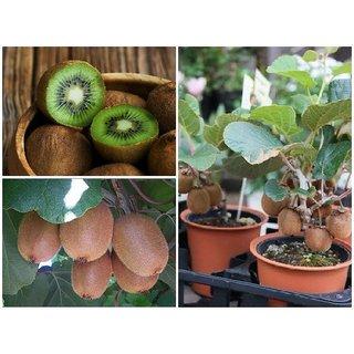 ENORME 200Pcs/ Seeds Bag Edible Kiwi Plants Rare Sweet Organic White Kiwi Fragaria Fruit Plants for Home Garden