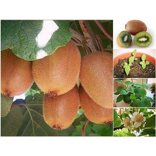 ENORME Gardens Rare Hybrid Kiwi Plant 200 Pcs Seed Packet
