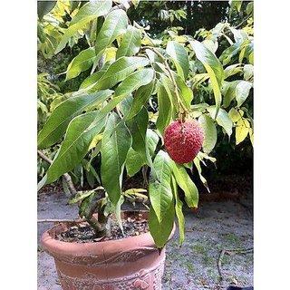 ENORME Nursery Buy Online Hybrid Grafted Litchi Fruit Plant Saplings In India 200 Seeds