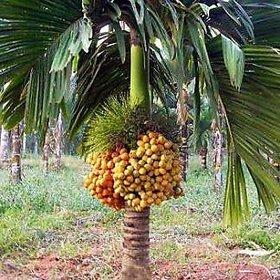 Hybrid Dwarf Arecanut Betel Nut Live Plant