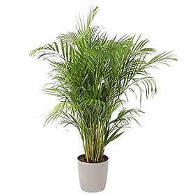 Live Areca Palm Plant in Plastic Bag For Indoor Balcony,Outdoor