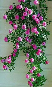Rare 1 Rose Plant Rose Climbing Pink Fragrant Rare All Season Rose Live Plant