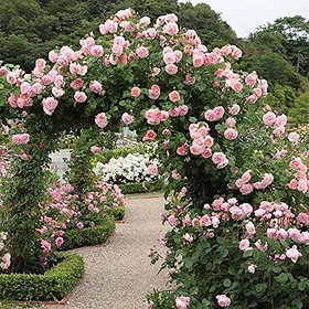 Rare Grafted Pink Climbing Rose  Healthy Live Plant