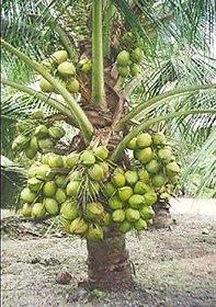 High Yield Rare Dwarf Coconut Sunnangy Live Plant - Rare Kerala Coconut Tree Plant (1 Healthy Live Fruit Plant)