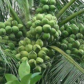 Dwarf Variety Coconut Plant Hybrid KUTTIADI COCONUT Live Plant
