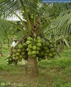 Dwarf Coconut Plant T x D Cocos nucifera 1 Healthy Live Plant on Poly Bag