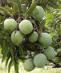 Live Baramasi Mango/Aam Fruit Plant With poly bag