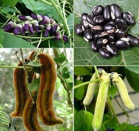 Mucuna Pruriens Velvet Bean Cow itch Raw Black Bengal velvet bean Cowage lacuna bean 100 pCS