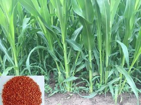 Sorghum Sudan Grass Cattle Feed, Soil Builder, Weed and Nematode Fast Growing Hybrid Seeds In Grams (50)