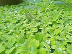 5 Pcs Live plants , Dwarf Water Lettuce, Water Cabbage, Pistia stratiotes, water plant - Aquatic plant floating plant