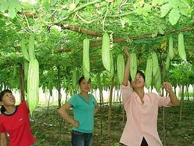 Vegetable Seeds Hybrid Chinese Big Bitter Gourd - Long Heirloom Vegetable seeds 15 seeds Pack