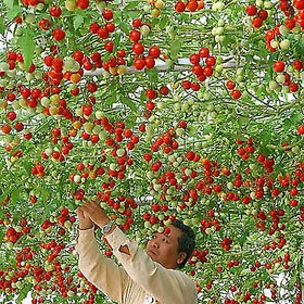 Giant ITALIAN TREE TOMATO Trip L Crop Vegetable Seeds - 10 Rare Seeds
