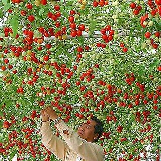 Giant ITALIAN TREE TOMATO Trip L Crop Vegetable Seeds - 10 Rare Seeds