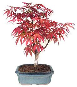 Beautiful Imported Japanese Red Maple Bonsai Tree Seed Pack of 20