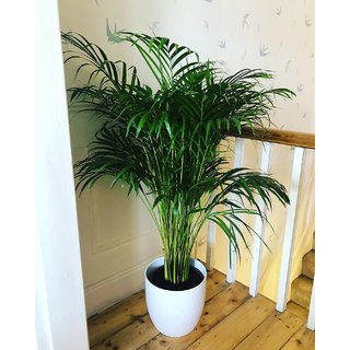 Bonsai Plant Areca Palm Indoor Plant Best Quality Seeds